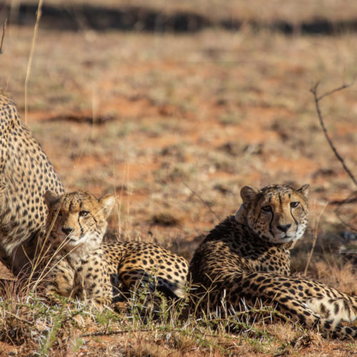 Kwafubesi Tented Safari cheetah family