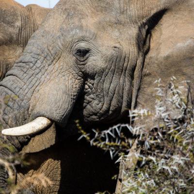Kwafubesi Tented Safari elephant