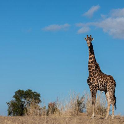 Kwafubesi Tented Safari giraffe