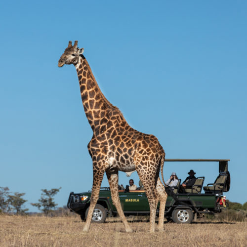 Kwafubesi Tented Camp giraffe and safari vehicle