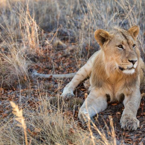 Kwafubesi Tented Safari lion