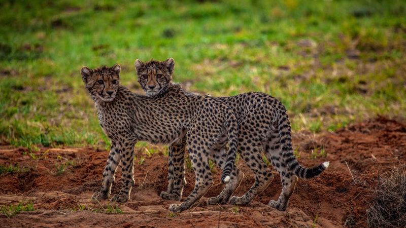 Kwafubesi Tented Safari cheetah